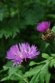 Centaurea montana : Le thé de fleurs de centaurée des montagnes s'emploie en cas de dyspepsie ( difficulté de digestion ), et comme diurétique. On en fait aussi des compresses calmantes pour les yeux .