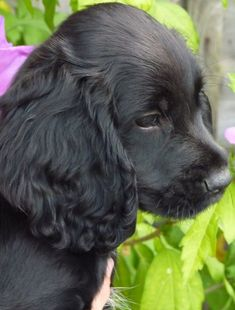 cocker spaniel pups | Stunning Working Cocker Spaniel Puppies | Bromsgrove, Worcestershire ...