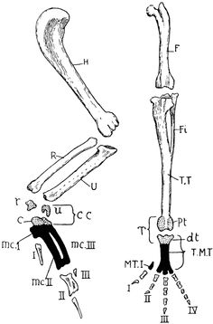 tiger skull diagram ear skull diagram