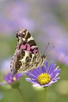 American Painted Lady Butterfly on a Lavender Aster   Gail Melville Shumway Photography