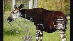 Okapi - A Giraffid Artiodactyl - video dailymotion Best Carry On Bag, Average Body, Okapi, Endangered Species, Coffee Art, Image House, Zebras, Republic Of The Congo, Mammals