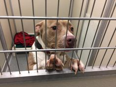 TO BE DESTROYED 05/08/17 ***REASON: SPACE*** ◀️33836-2▶️ 2 years old • Labrador Retriever Mix • Female • Intake Date 12/22/16 • #33836 • FOR MORE PICS, VIDEOS & INFO: http://www.dogsindanger.com/dog/1483300419808