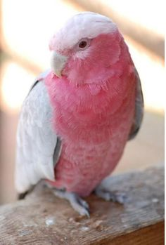 Galah Cockatoo - Eolophus Roseicapilla - also called the Rose-breasted Cockatoo.
