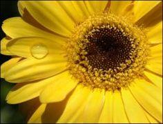 YELLOW GERBERA 10 by THOM-B-FOTO