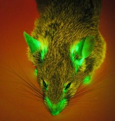 Transgenic GFP mouse