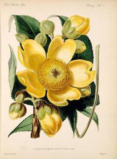 Missouri Botanical Garden Cochlospermum Hibiscoides. Plate from 'Biologia Centrali-Americana : Zoology, Botany and Archaeology (...