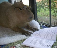 Capybaras can read. | After Looking At These Photos You Will DEFINITELY Want A Capybara