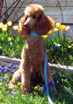 Betty Jo is expecting and due the first of June. French Poodles, Standard Poodles, Enjoy The Sunshine, Dog Photos, Best Dogs, Cuddling, Dog Breeds, Dog Cat, Heaven