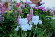 Iris- Above the Clouds, Pink Lupine, Peony- Bowl of beauty, Poppy- Raspberry Queen Iris Garden, Pink Garden, Flower Gardening, Vegetable Gardening, Container Gardening, Front Garden Entrance, Gladiolus Bulbs, Growing Raspberries, Garden Bulbs