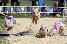"""And down the stretch they come!""  Ever bet on a pig race before?"