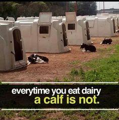 Pro vegan: every time you eat dairy a calf is not. Vegan Facts, Vegan Memes, Vegan Quotes, Factory Farming, Why Vegan, Vegan Animals, Choose Life, Save Animals, Animal Cruelty