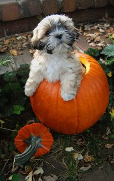 Trick or treat. Shih Tzu dog art portraits, photographs, information and just plain fun. Also see how artist Kline draws his dog art from only words at drawDOGS.com #drawDOGS http://drawdogs.com/product/dog-art/shih-tzu-dog-portrait-by-stephen-kline/ He also can add your dog's name into the lithograph.