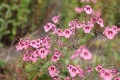 Diascia (personata) roze eenjarige, .30-.40 hoog bloeit 6-9