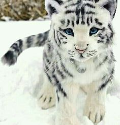 Un magnifique bébé tigre blanc ❄️🐯 Baby White Tiger, White Tiger Cubs, White Lions, Beautiful Cats, Animals Beautiful, Big Cats, Cute Cats, Animals And Pets, Funny Animals