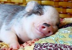 #sweet #dreams  pigs