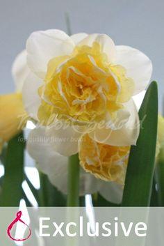 Daffodil - Art Design