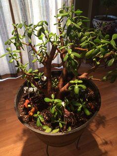 My Jungle Jade Plant
