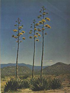 Agave, Desert Magazine, March 1964.