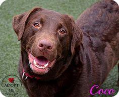 Youngwood, PA - Labrador Retriever Mix. Meet Coco a Dog for Adoption.