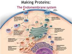 Image result for endomembrane system #kollagen #intensive Science Cells, Medical Science, Science Education, Life Science, Cell Parts, Plasma Membrane, Biology Lessons, Plant Cell, Cell Biology