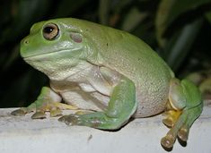 Australian green tree frog                                                                                                                                                                                 More