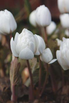 Jag vill tipsa er om en fantastisk perenn som jag tror för många inte är så känd. Blodörten 'Sanguinaria canadensis 'Multiplex' blommar tidigt på våren med kritvita blommor som liknar en bukett näckrosor.