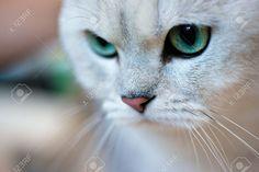 chinchilla silver american shorthair - Google Search