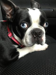 A Boston Terrier with blue eyes?????? This dog can not get more gorgeous!!!!!