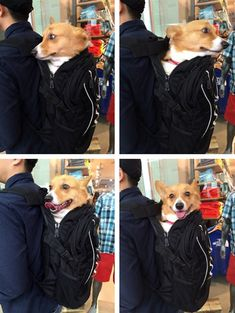 Corgi In A Backpack