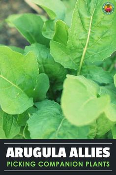 Selecting the right arugula companion plants can spell garden success! Our guide shares what to choose and what not to choose for best effect. Farm Pictures, Garden Pictures, Fast Growing Plants, Growing Herbs, Companion Planting Guide, Ground Cover Plants, Garden Pests, Large Plants, Arugula