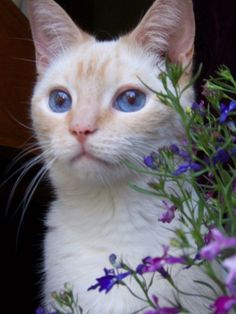 flame point Siamese, looks like my kitty