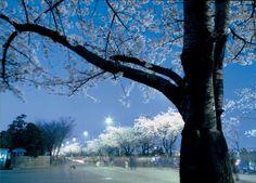 벚꽃축제야경