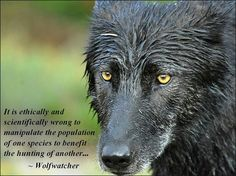 How I believe this. Wolves are one of the most beautiful creatures God put on this earth.