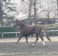 Cavallo trottatore italiano 8 anni maschio Horses, Animals, Animales, Animaux, Animal, Animais, Horse