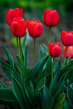 Blossom Garden, Blossom Flower, My Flower, Spring Flowers Wallpaper, Flower Wallpaper, White Tulips, Tulips Flowers, Flowers Black Background, Flower Games