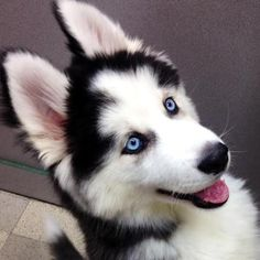 5 Reasons to Own a Siberian Husky - Champion Dogs Husky Humor, Siberian Husky Funny, Siberian Huskies, Husky Puppy, Husky Mix, Pomeranian Puppy, Cute Dogs And Puppies, I Love Dogs, Doggies