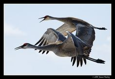 Pair of Sandhill Cranes, Camas National Wildlife Refuge in Hamer, Idaho.  By James Neeley