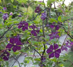 Clematis 'Etiole Violette' rambles on cut twigs in a container on The Chanticleer Terrace.