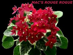 AFRICAN VIOLET PLANT MAC'S ROUGE ROGUE~BRIGHT RED BLOSSOMS~VARIEGATED FOLIAGE