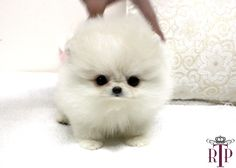 Pomeranian puppy so cute and ugly at the same time
