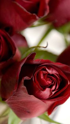 Red Roses <3