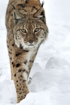 """Lynx.  <a class=""""pintag searchlink"""" data-query=""""%23gazing"""" data-type=""""hashtag"""" href=""""/search/?q=%23gazing&rs=hashtag"""" rel=""""nofollow"""" title=""""#gazing search Pinterest"""">#gazing</a> through nature's door"""