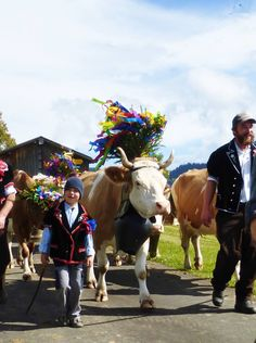 Cows come back home from the alps . Gemmenalp. Beatenberg.