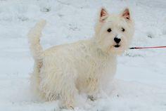My Westie, Sophie, in the snow