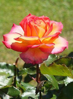 Tropical Skies Rose_0004.jpg
