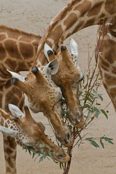 Photograph Giraffe& sharing some browse. by Norman Herfurth on The Animals, My Animal, Baby Animals, Funny Animals, Wild Animals, Baby Giraffes, Animals Images, Beautiful Creatures, Animals Beautiful