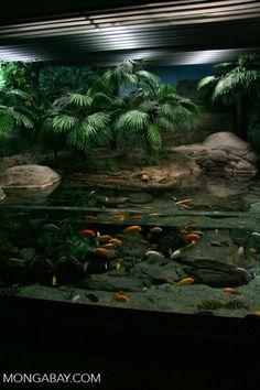 Malawi mbuna cichlid aquarium