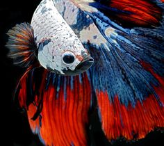 Stunning portraits of Siamese fighting fish / Photo by Visarute Angkatavanich  (WOW!)