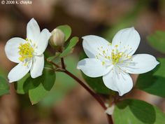 Enemion biternatum (False Rue Anemone): Minnesota Wildflowers