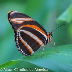 Butterfly / Mariposa / Borboleta: Dryadula phaetusa
